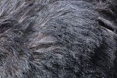 Ostrich (Struthio camelus) plumage texture. Royalty Free Stock Image