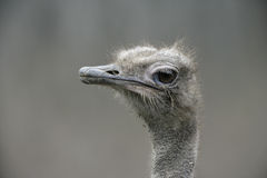 Ostrich, Struthio camelus Stock Photography