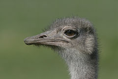 Ostrich, Struthio camelus Royalty Free Stock Image