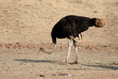 Ostrich, Struthio camelus Royalty Free Stock Photo