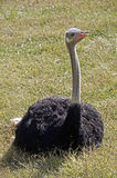 Ostrich (Struthio camelus) Royalty Free Stock Photo