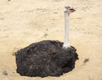 Ostrich - Struthio camelus Stock Photography