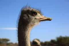 Ostrich. (Struthio camelus) in South Africa Royalty Free Stock Photography