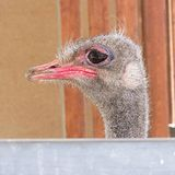 Ostrich/struthio camelus Southern Cyprus. Ostrich looking good in the sunshine Royalty Free Stock Photos