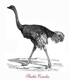 The ostrich Struthio camelus, vintage engraving. The ostrich Struthio camelus is  a large flightless birds native to Africa. It can run at up to about 70 km/h 19 Royalty Free Stock Photography