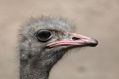 Ostrich (Struthio camelus). Royalty Free Stock Image