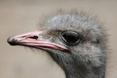 Ostrich (Struthio camelus). Stock Photography