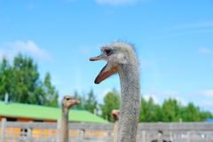 Ostrich talking. Funny ostrich opening his beak Royalty Free Stock Image