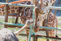 Ostrich talking something to Giraffe. cute animal. Ostrich talking something to Giraffe. cute animal friend Royalty Free Stock Photography