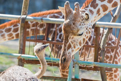 Ostrich talking something to Giraffe. cute animal. Ostrich talking something to Giraffe. cute animal friend Stock Images