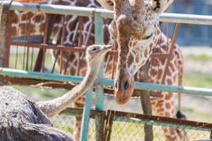 Ostrich talking something to Giraffe. cute animal. Ostrich talking something to Giraffe. cute animal friend Stock Photography
