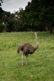 Ostrich is a tall flightless bird. From Africa Stock Photo