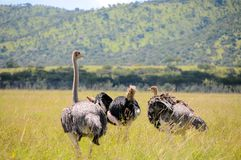 Ostrich in tanzania national park. A couple of ostriches (Struthio camelus) breeding in Ngorongoro Conservation Area, Tanzania Stock Photo