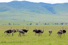 Ostrich in tanzania national park. A couple of ostriches (Struthio camelus) breeding in Ngorongoro Conservation Area, Tanzania Royalty Free Stock Photo
