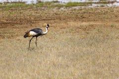 Ostrich In Tanzania Royalty Free Stock Photos