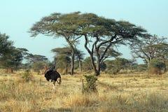 Tarangire ostrich. A ostrich in the tarangire national park in tanzania Royalty Free Stock Photos