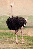 Big ostrich Royalty Free Stock Photos
