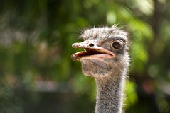 Ostrich (Thailand). Royalty Free Stock Photos