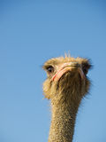 Ostrich thoughts Royalty Free Stock Image