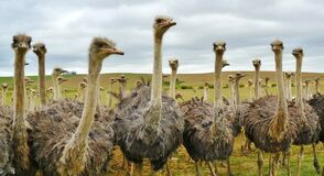 Ostrich Under White Sky Stock Images