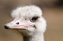 Ostrich up close Stock Photo
