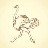 Ostrich. Vector drawing. Speed going fun pet rhea isolated on white background. Freehand outline ink hand drawn symbol sketchy in art scribble retro style pen on Royalty Free Stock Photography