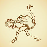 Ostrich. Vector drawing. Speed going rhea  on white background. Freehand outline ink hand drawn symbol sketchy in art scribble retro style pen on paper. Side Stock Photography