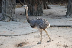 Ostrich very close friend. Very close friend of the ostrich in a zoo Chiang Mai Royalty Free Stock Photography