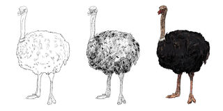Ostrich. The victor drawing styles of the ostrich Stock Photo
