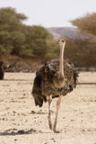 Ostrich walking Royalty Free Stock Photo