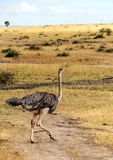 Ostrich walking. In the African savannah in a sunny day Stock Images