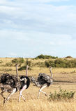 Ostrich walking Royalty Free Stock Images