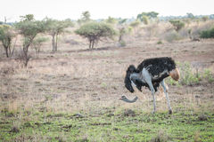 Ostrich walking in the bush Royalty Free Stock Photo