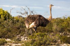 Ostrich walking in the De Hoop national reserve, South Africa. Left side view of Ostrich in the De Hoop national reserve, South Africa stock photos