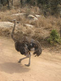 An  ostrich walking Royalty Free Stock Images