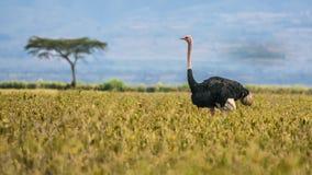 Ostrich walking in Lake Nakuru National Park, Kenya Royalty Free Stock Photo