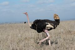 Ostrich in Nairobi National Park Stock Photography