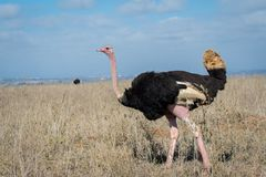 Ostrich in Nairobi National Park Royalty Free Stock Image