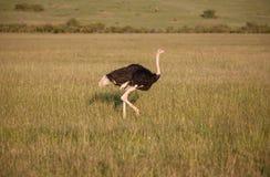 Ostrich walking on savanna in Africa. Safari.