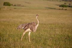 Ostrich  walking on savanna in Africa. Safari. Royalty Free Stock Images