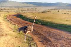 Ostrich  walking on savanna in Africa. Safari Stock Image