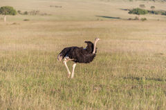 Ostrich  walking on savanna in Africa. Safari. In Amboseli, Kenya Royalty Free Stock Images