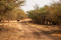 Ostrich walking between the trees on sandy road. Wild life in Safari. Baobab and bush jungles in Senegal, Africa. Bandia Reserve. royalty free stock photos