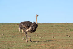 Ostrich walking in the wild Stock Photography