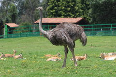 Ostrich walks with antelopes Stock Photo