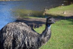 Ostrich walks on the green shore of the pond royalty free stock images