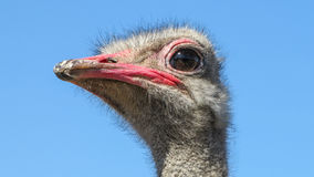 Ostrich. The ostrich was photographed on a farm in the Altai region Royalty Free Stock Photography