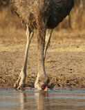 Ostrich and water - African feathers Royalty Free Stock Image