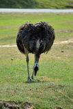 Ostrich is a wild bird that walk on the green grass Stock Photography