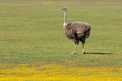 Ostrich and wild flowers Royalty Free Stock Photography